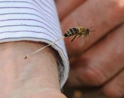veninul de albine