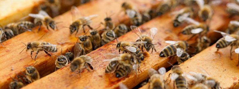 banner-colmena-abejas-escarabajo-plaga
