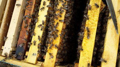 Cum intretinem familiile de albine in perioada culesului
