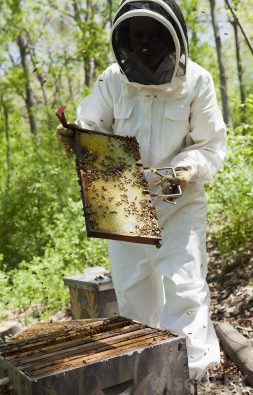 inmultirea familiilor de albine
