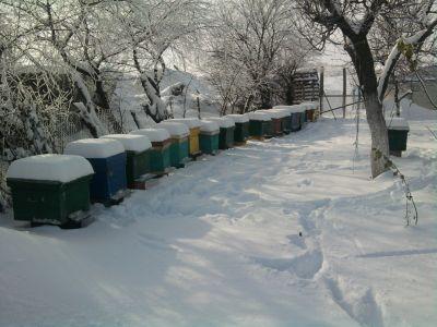 Perioada inlocuiri albinelor de iernare si dezvoltarea in primavara