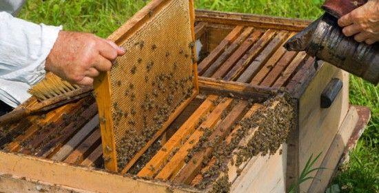 organizarea cuibului la albine