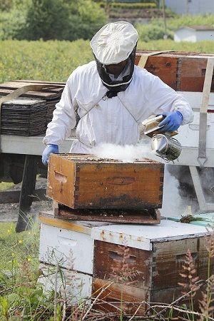 incepatorii in apicultura