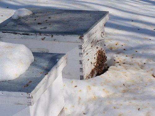 iernarea familiilor de albine