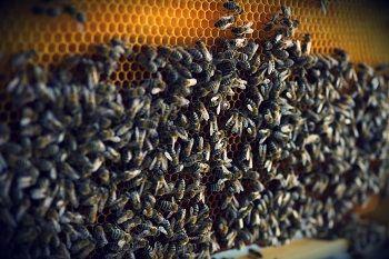 albinele si microclimatul