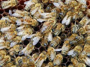 inlocuirea albinelor dupa iernare