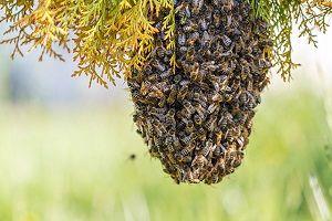 roirea albinelor